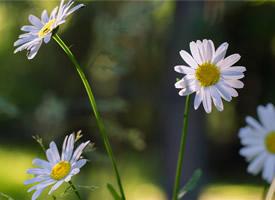 一组漂亮的雏菊高清图片欣赏