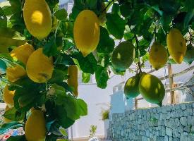一组挂在树上的金黄色柠檬图片