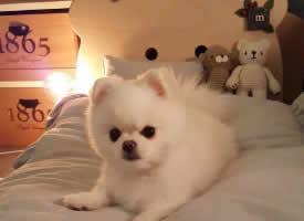 一组软糯糯的博美犬图片