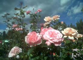 一組爭相開放的花叢圖片