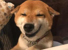 來自柴犬的每日微笑