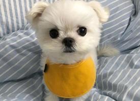 萌值爆表的馬爾濟斯犬