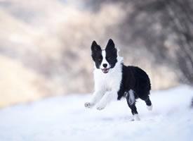 在雪地里開心玩耍的小狗圖片欣賞