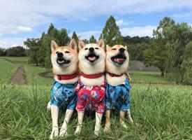 可爱的三只小柴的合照日常图片欣赏