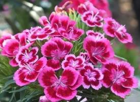 花色鲜艳的石竹花图片