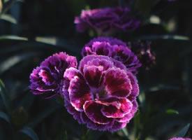 一组娇艳漂亮的石竹花图片