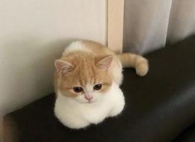 像糯米团子的小猫图片欣赏