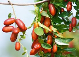 一组挂在树上红红分人红枣图片欣赏
