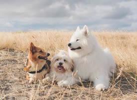 三只超可爱的狗狗合照图片欣赏