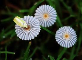 像雏菊一样的和黄色小蘑菇图片