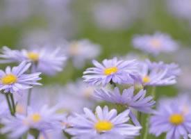 一組夢幻的紫色荷蘭菊圖片