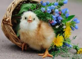 一组萌萌哒的小鸡图片
