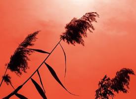 一叢叢默默隱隱,一團團樸樸挺挺的蘆葦