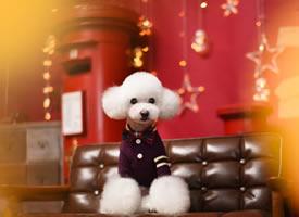又可爱又软乎的小白白狗狗图片