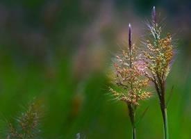 一簇簇悠悠揚揚,風起漫天紛飛飄散的蘆葦