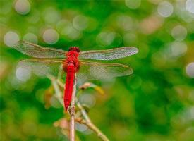 轻盈 优雅 轻巧 可爱的红色蜻蜓图片