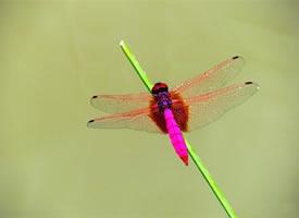 矯捷、靈巧、圓活的紫色蜻蜓圖片