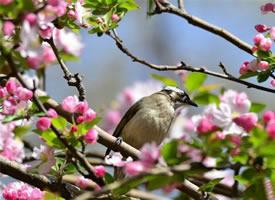 海棠花開~白頭鵯獨上枝頭~美色盡賞