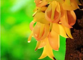 娇翠欲滴的禾雀花图片