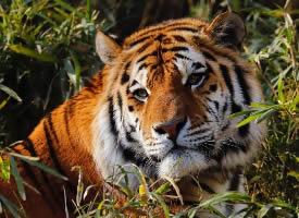 多摩動物園的虎大王也太漂亮了
