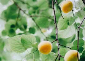 一组挂在树上的杏子图片