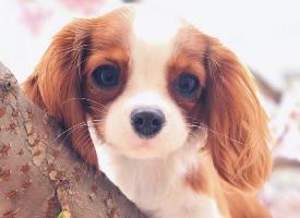 一组活泼的查理王小猎犬图片