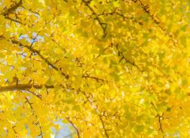 秋天金黃的銀杏葉美景圖