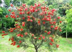 一组红千层树图片