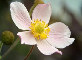 一组漂亮的欧洲银莲花图片