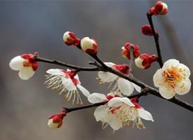 一组白色梅花~洁白清雅之美