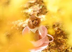 金黃的樹葉下開心的狗狗圖片欣賞