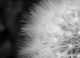 蒲公英花黑白色背景圖片