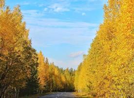 黃色的樹葉搭配涼爽的秋天的美景