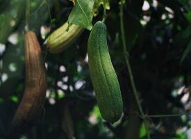 一組清新唯美的絲瓜圖片