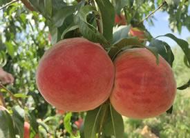 一組掛在樹上超級新鮮的水蜜桃圖片
