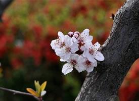 墙角数枝梅,凌寒独自开的梅花图片