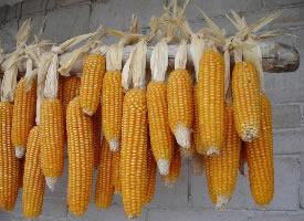 一组丰收的玉米图片