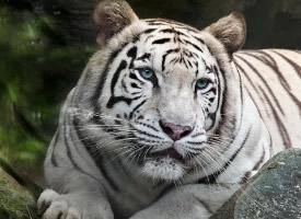 一組威風勇猛的白虎高清圖片