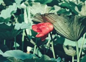 翠细红袖水中央,青荷莲子杂衣香