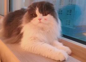 一組可愛的折耳貓圖片