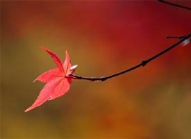 秋天的楓葉好似燃燒著的火球