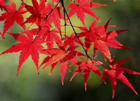 溫存的,楓的顏色,閃爍著惹眼的喜色