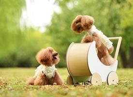 一组超可爱的两只泰迪狗狗图片欣赏