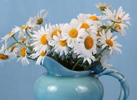 一组小清新美丽的雏菊高清图片欣赏