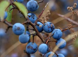 多吃藍莓可以緩解眼部疲勞,預防近視