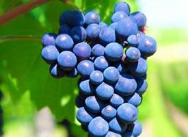 一组极其美味的葡萄图片欣赏