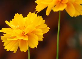 一組黃色鮮艷花朵高清圖片欣賞