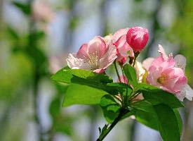 海棠花桌面高清壁紙圖片欣賞