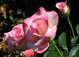 一組玫瑰花高清特寫圖片