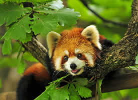 一組慵懶可愛的小熊貓圖片
